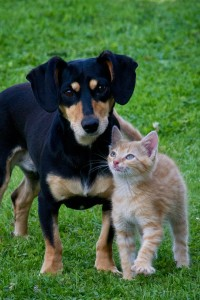 A daschund puppy and a tabby kitten standing side by side on a grassy lawn.