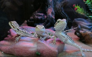 three lizards in a glass reptile home