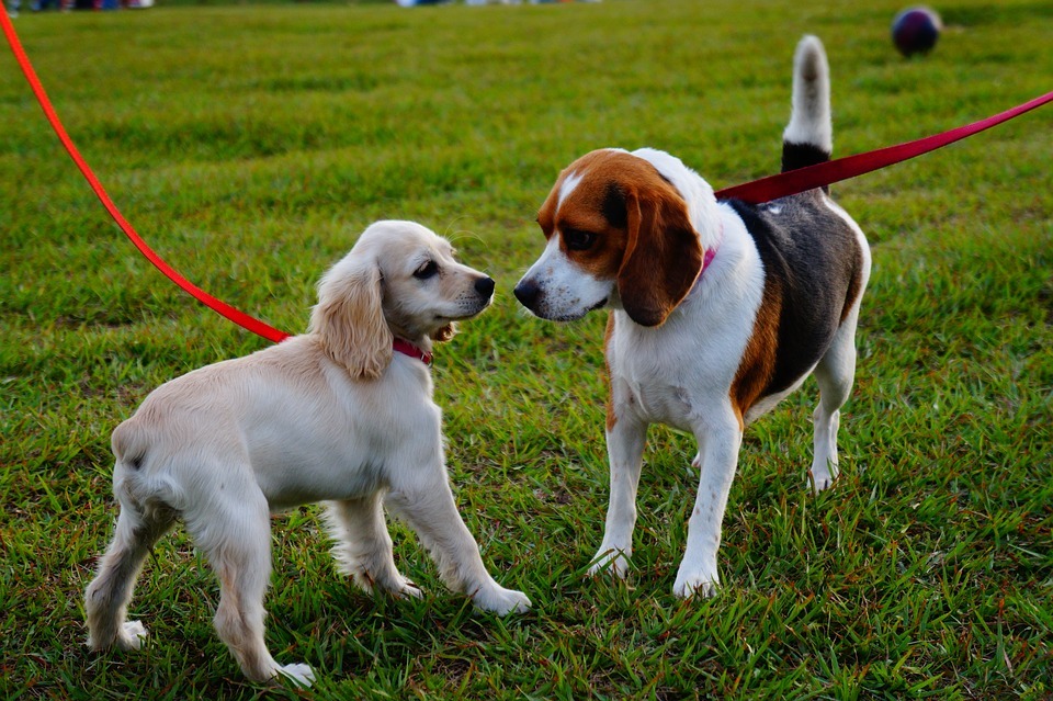 Two dogs playing at a dog park.