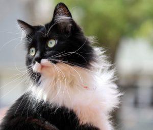 A fluffy tuxedo cat