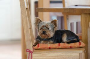 A Yorkie sitting on a chair